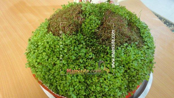 انواع بذر هفت سین ژورنال دنیای نفیــــــــــس | سبزه دورنگ! سبزه اي متفاوت!